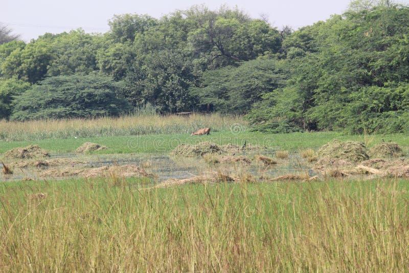 Parc national de Sultanpur images libres de droits