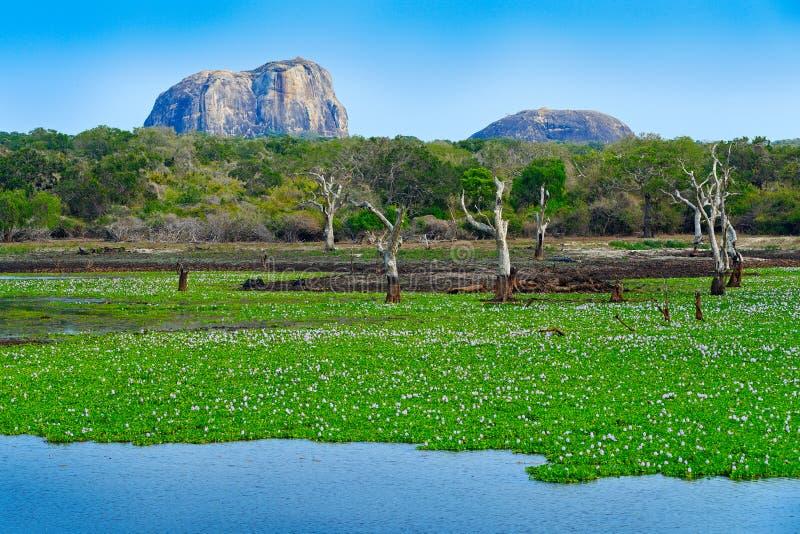 Parc national de Yala, Sri Lanka, Asie Beau paysage, lac avec des fleurs de l'eau et vieux arbres Forêt dans Sri Lanka, grand RO  image stock