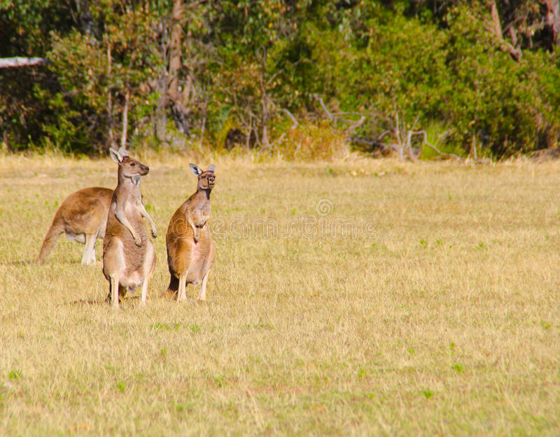 Parc national de Yanchep images libres de droits
