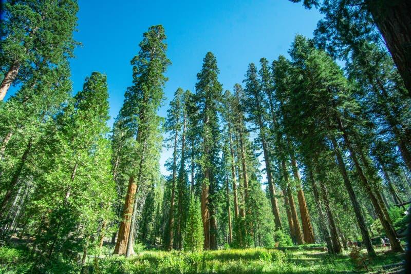 Parc national de Yosemite, CA / États-Unis - Aug. 22 janvier 2019 : vue sur le paysage d'une forêt de séquoias à Mariposa Grove photos stock