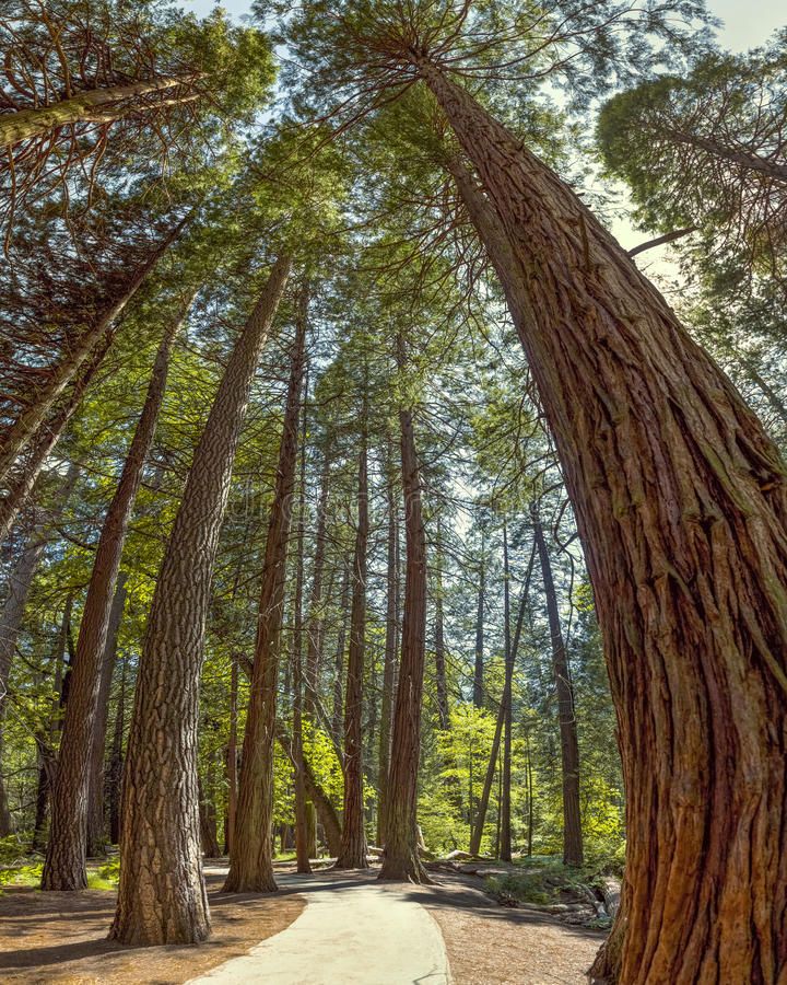 Parc national de Yosemite - séquoias de verger de Mariposa - la Californie image libre de droits