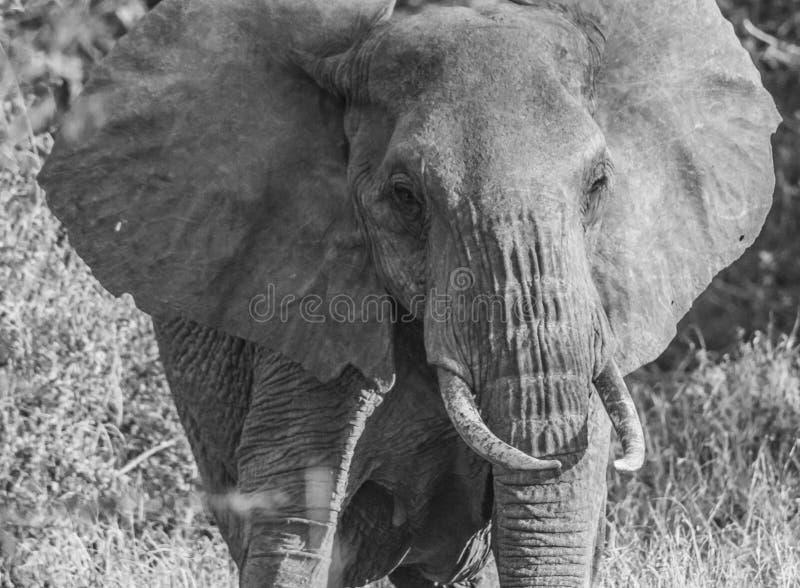 Parc national occidental noir et blanc Kenya Afrique de Tsavo d'éléphant solitaire photographie stock libre de droits
