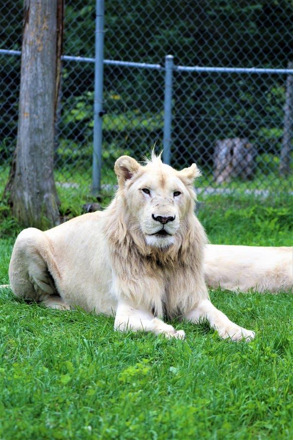 Parc Park Safari, Hemmingford, Quebec, Canada. Rare white lion at the Parc Park Safari, located in Hemmingford, Quebec, Canada stock photography