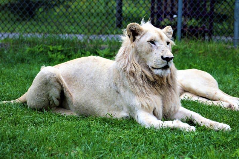 Parc Park Safari, Hemmingford, Quebec, Canada. Rare white lion at the Parc Park Safari, located in Hemmingford, Quebec, Canada royalty free stock image