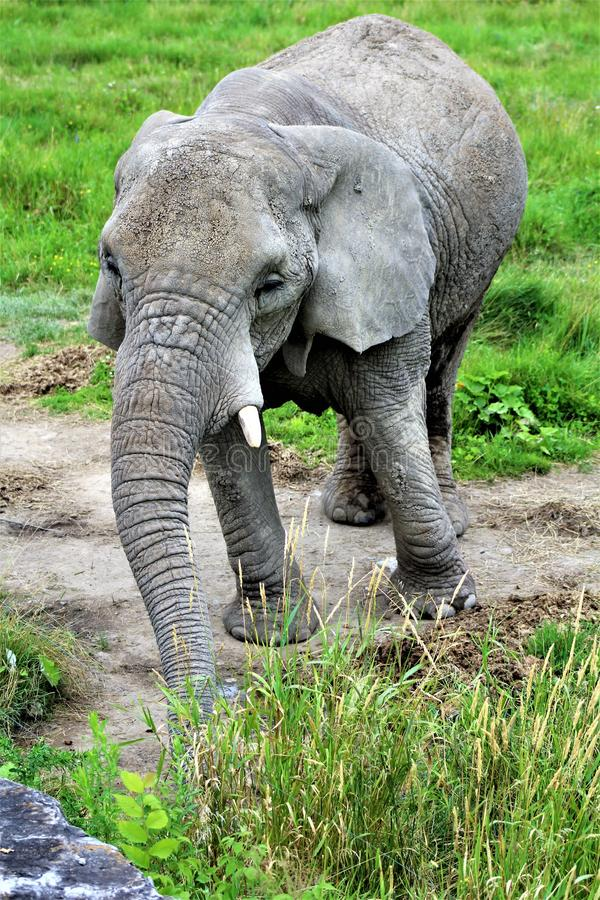 Parc Park Safari, Hemmingford, Quebec, Canada. African Elephant in green grass at the Parc Park Safari, located in Hemmingford, Quebec, Canada stock images