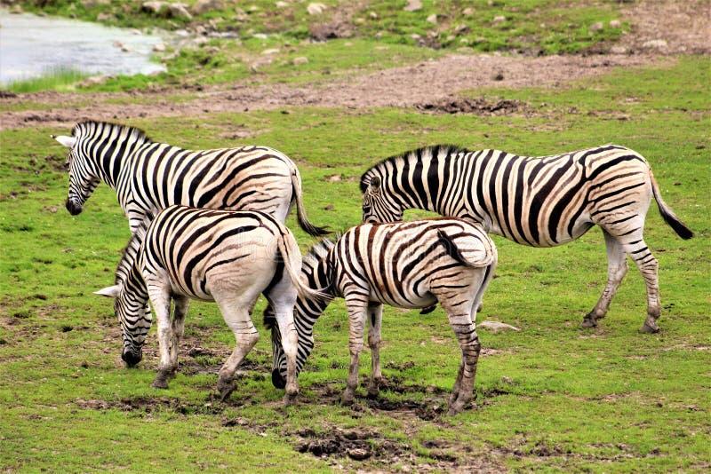 Parc Park Safari, Hemmingford, Quebec, Canada. Damara Zebra at the Parc Park Safari, located in Hemmingford, Quebec, Canada royalty free stock images