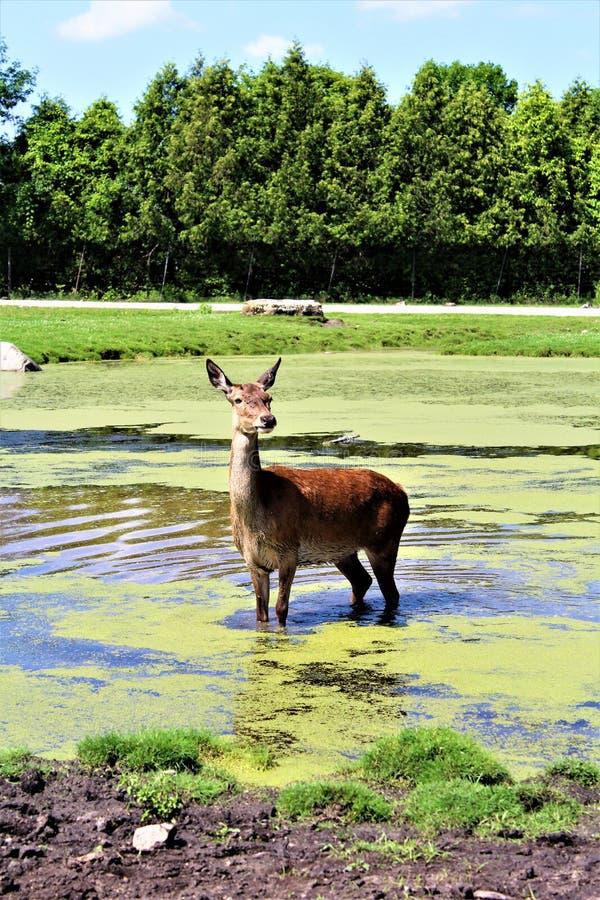 Parc Park Safari, Hemmingford, Quebec, Canada. Red deer, at the Parc Park Safari, located in Hemmingford, Quebec, Canada stock image