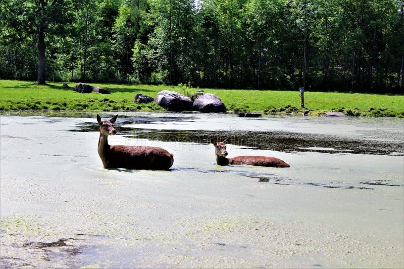 Parc Park Safari, Hemmingford, Quebec, Canada. Red deer, at the Parc Park Safari, located in Hemmingford, Quebec, Canada royalty free stock image