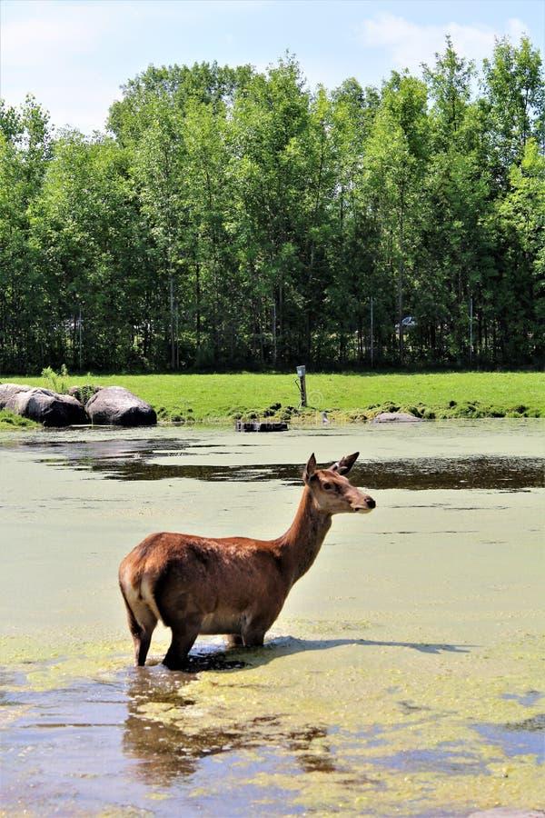 Parc Park Safari, Hemmingford, Quebec, Canada. Red deer, at the Parc Park Safari, located in Hemmingford, Quebec, Canada stock photography
