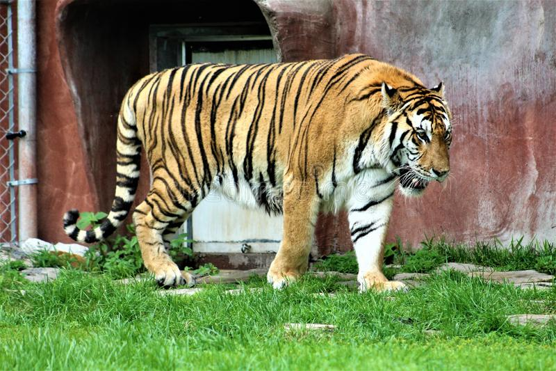 Parc Park Safari, Hemmingford, Quebec, Canada. Tiger at the Parc Park Safari, located in Hemmingford, Quebec, Canada royalty free stock photography