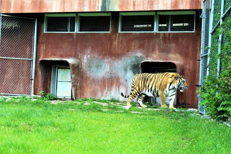 Parc Park Safari, Hemmingford, Quebec, Canada. Tiger at the Parc Park Safari, located in Hemmingford, Quebec, Canada royalty free stock photos
