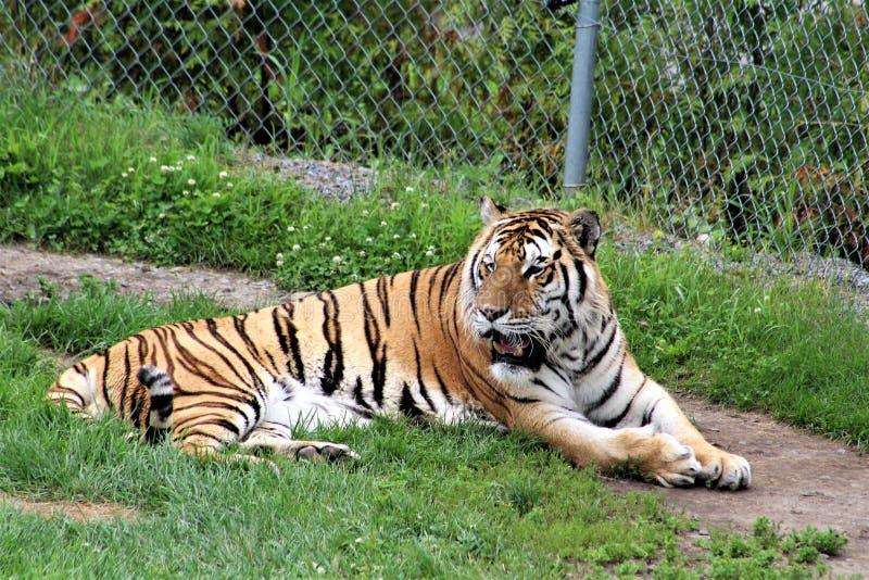 Parc Park Safari, Hemmingford, Quebec, Canada. Tiger at the Parc Park Safari, located in Hemmingford, Quebec, Canada stock image
