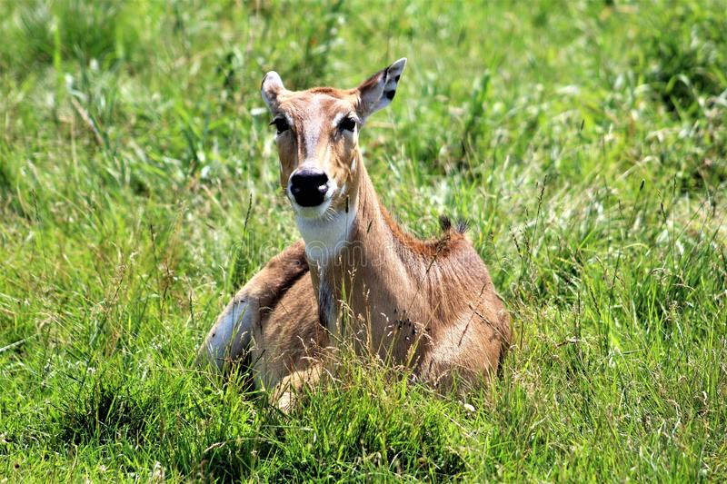 Parc Park Safari, Hemmingford, Quebec, Canada. White tail deer, spotted fawn, at the Parc Park Safari, located in Hemmingford, Quebec, Canada stock images