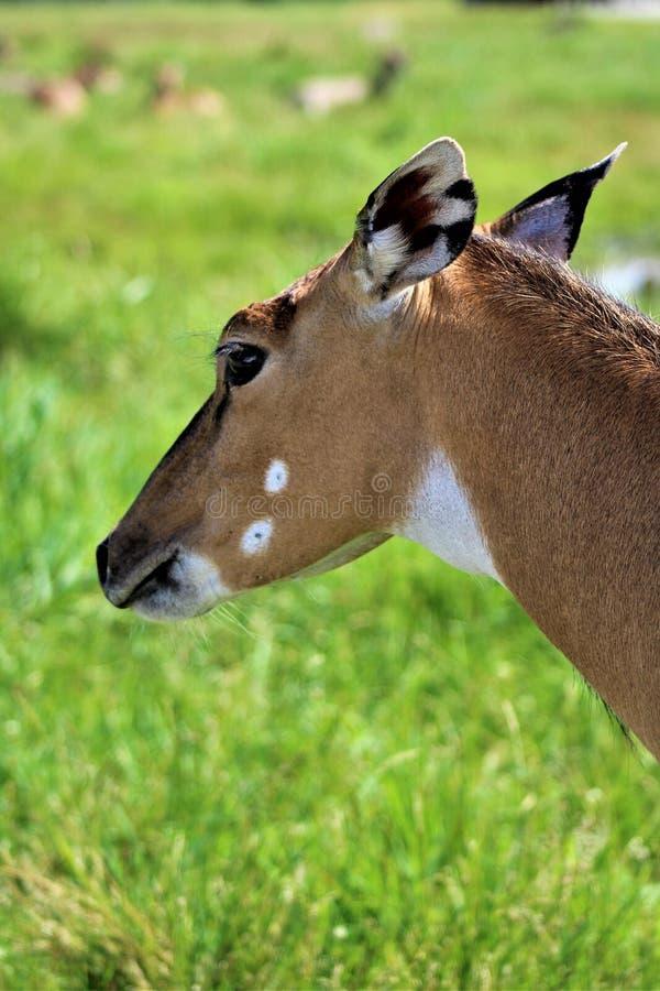 Parc parka safari, Hemmingford, Quebec, Kanada zdjęcie stock