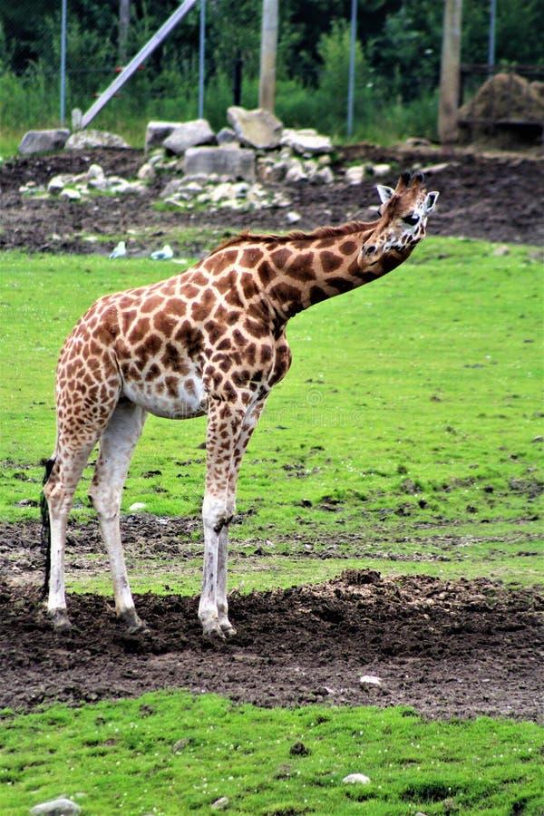 Parc parkerar safari, Hemmingford, Quebec, Kanada royaltyfria bilder