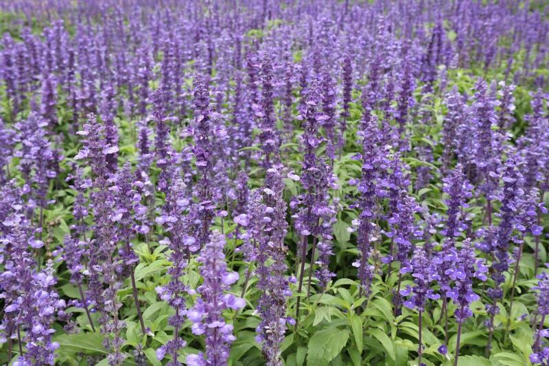 parc pourpre dans des domaines de fleurs de lavande dans Jimtomson chez Korat, Thaïlande images stock