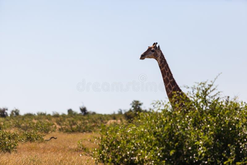 Parc principal du kruger d'une girafe, Afrique du Sud image libre de droits