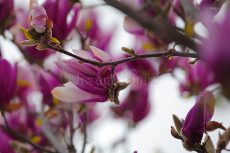 Parc rose de fleur d'arbre de magnolia personne photos stock