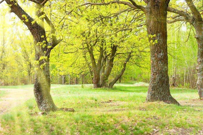 Parc vert avec des chênes photos libres de droits