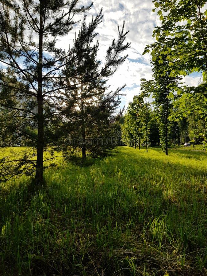 Parc vert clair et sapin velu sous le ciel gris photo stock