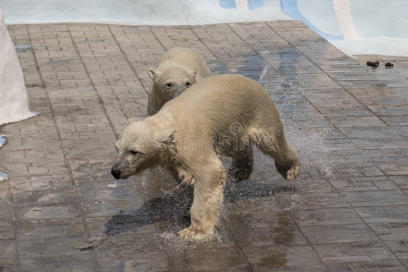 Parc zoologique de Novosibirsk Ours blanc au zoo images libres de droits