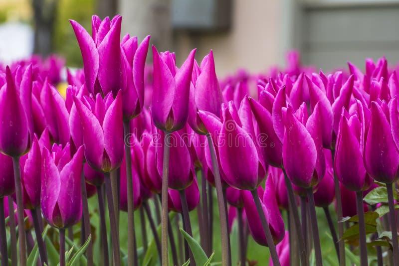 Parchi, giardini e tulipani del tulips&purple immagini stock libere da diritti