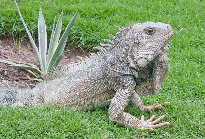 Parco dell'iguana  immagine stock