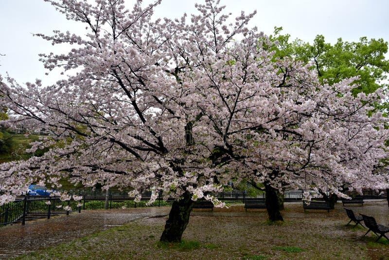 Parco della città con gli alberi di sakura, Giappone di Nagasaki immagine stock
