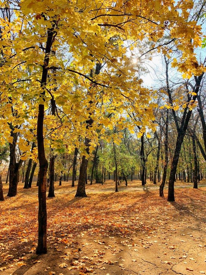 Parco di autunno con gli alberi dorati immagine stock libera da diritti