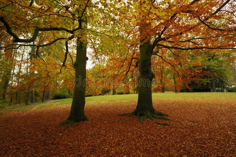 Parco di autunno con gli alberi di faggio immagine stock