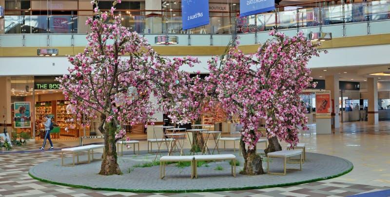 Parco di Pasqua April Garden con gli alberi ed i banchi rosa di fioritura della magnolia nel corridoio di grande panorama di cent fotografia stock