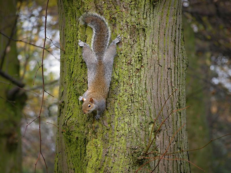 Parco di Sefton - il bello autunno dello scoiattolo, lascia la caduta dagli alberi fotografie stock