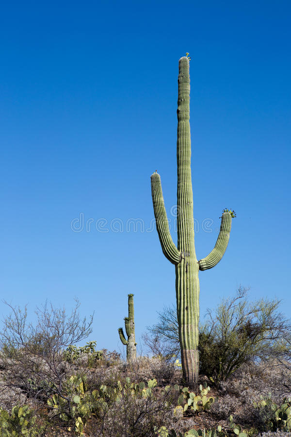 Parco nazionale Arizona del saguaro fotografie stock