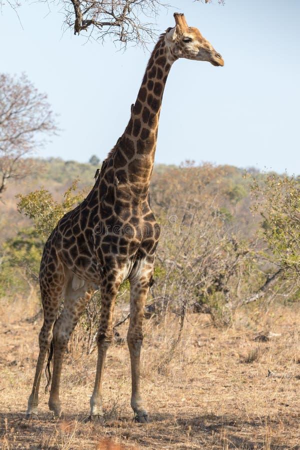 Parco nazionale del kruger di Girafe fotografia stock