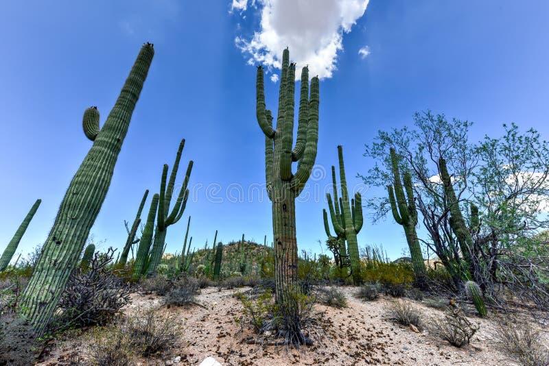 Parco nazionale del saguaro immagini stock libere da diritti