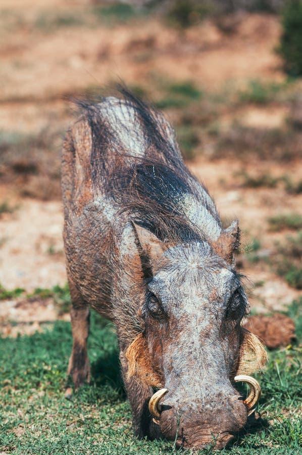 Parco nazionale dell'elefante di Addo, la provincia del Capo Orientale, Sudafrica immagini stock libere da diritti