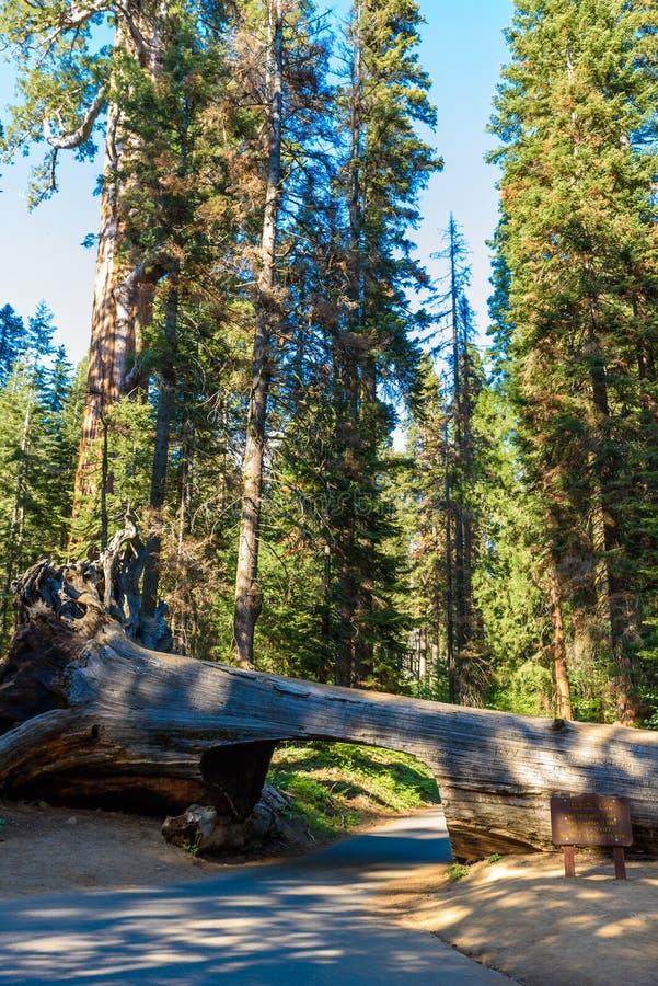 Parco nazionale della sequoia di connessione del tunnel Tunnel d'altezza 8 ft, 17 ft largamente California, Stati Uniti fotografie stock