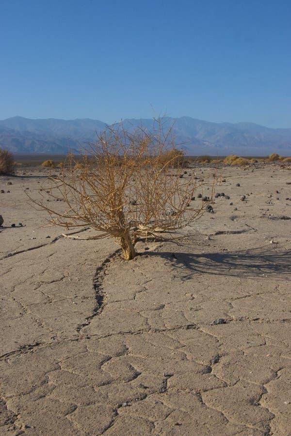 Parco nazionale di California, Death Valley, albero asciutto fotografie stock