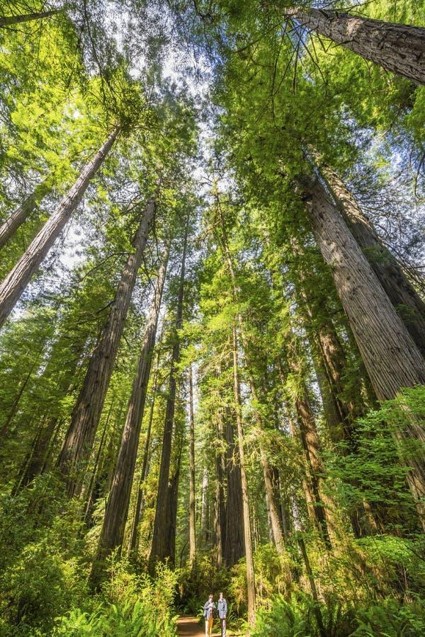 Parco nazionale elevantesi Crescent City California delle sequoie degli alberi alti delle viandanti immagini stock libere da diritti