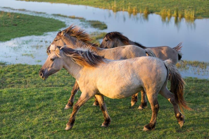 Parco nazionale olandese Oostvaardersplassen con i cavalli del konik che passano uno stagno immagini stock