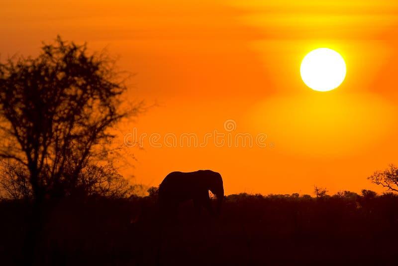 Parco nazionale selvaggio di Kruger di tramonto e dell'elefante, Sudafrica fotografia stock