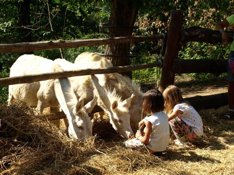 Parco Poppi Italy dello zoo: asini e childs bianchi immagini stock libere da diritti