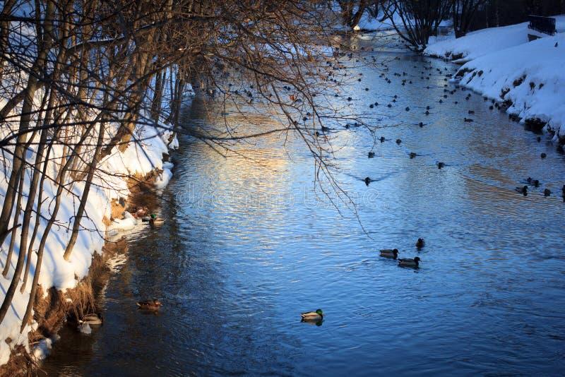 Parco russo di inverno, specchio in stagno o fiume ed anatre È tempo del tramonto fotografia stock