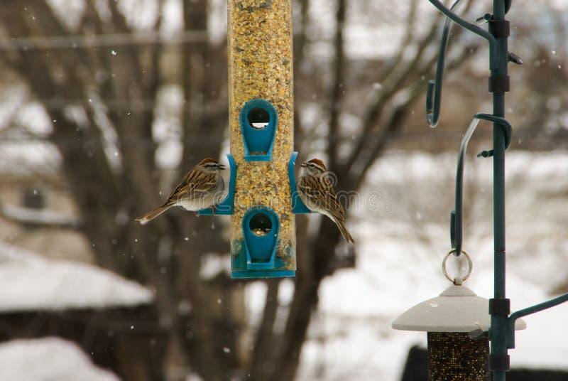 2 pardais gordos que alimentam em um alimentador do pássaro da cerceta na neve em Minnesota fotografia de stock