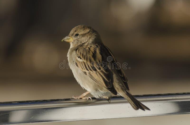 Pardal de casa do pássaro fotografia de stock royalty free