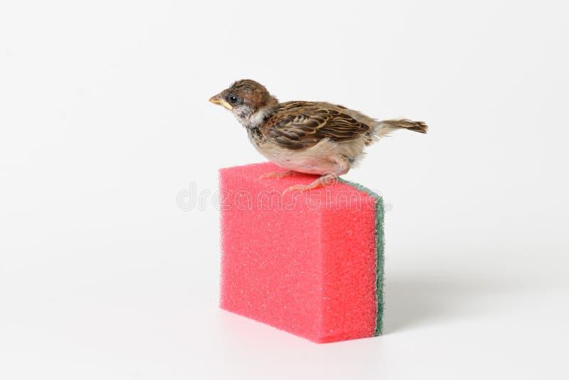 Pardal do filhote de passarinho com uma esponja para pratos de lavagem, isolada em w fotos de stock