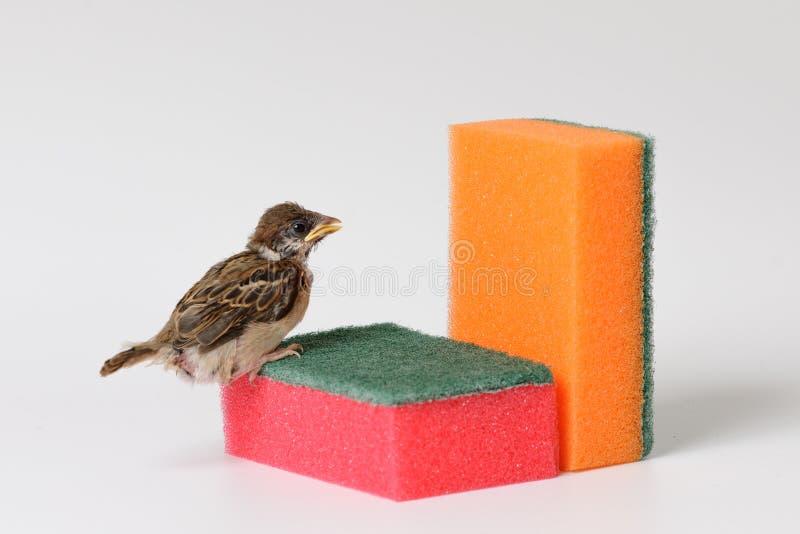 Pardal do filhote de passarinho com uma esponja para pratos de lavagem, isolada em w imagens de stock royalty free