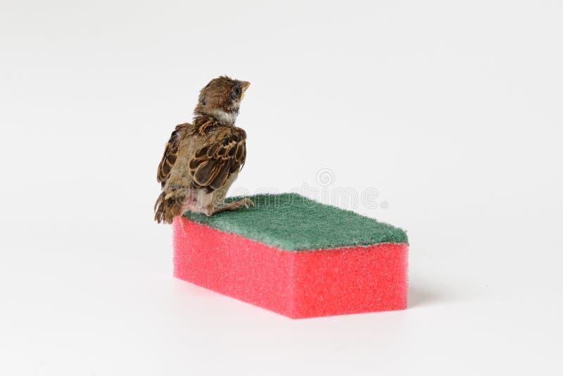 Pardal do filhote de passarinho com uma esponja para pratos de lavagem, isolada em w imagens de stock