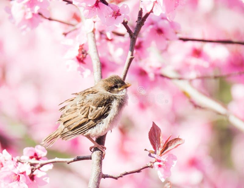 Pardal na árvore de pêssego de florescência fotografia de stock royalty free