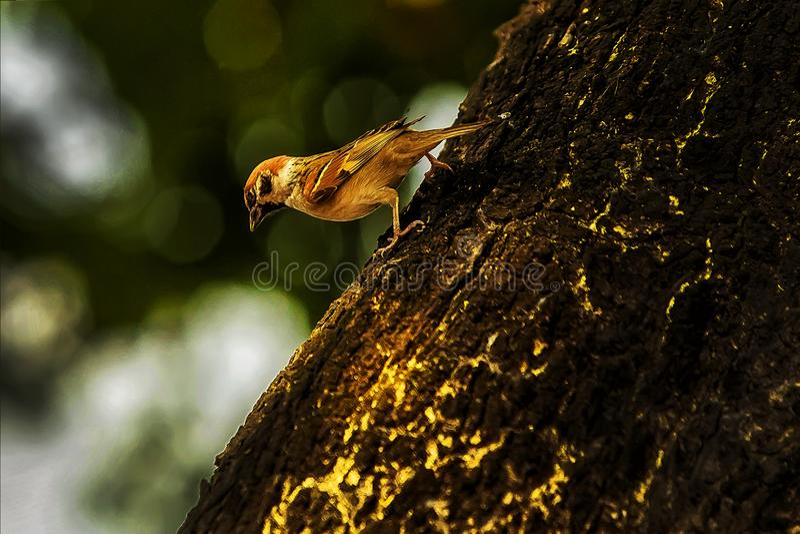 Pardal quando os pássaros retornarem Livre ajustado do domesticus do transmissor foto de stock royalty free